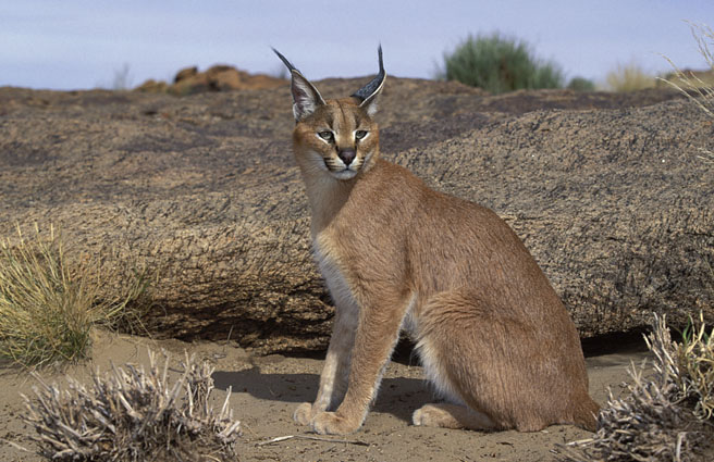 wallpapers of animal caracal cat wikipedia
