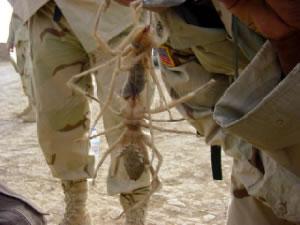CamelSpider