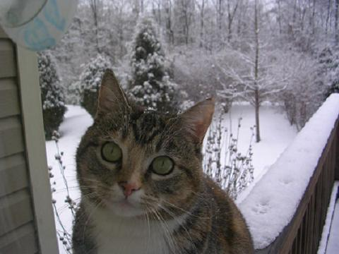 calico cat in snow take 2