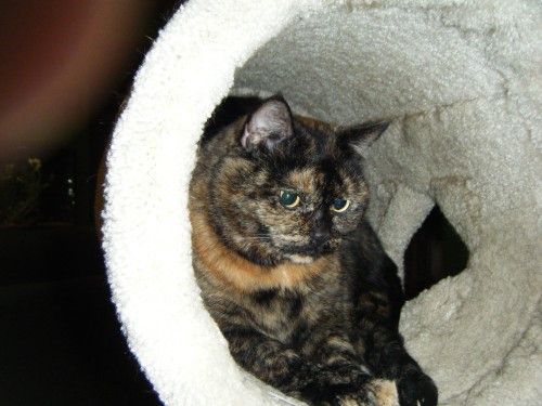tortoiseshell-cat-in-carpeted-tube-jan-2008-nwin