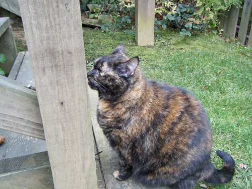 tortoiseshell cat stairs patio green lawn grass