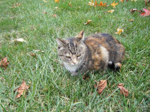calico cat outside backyard grass green verdure greenery leaves autumn