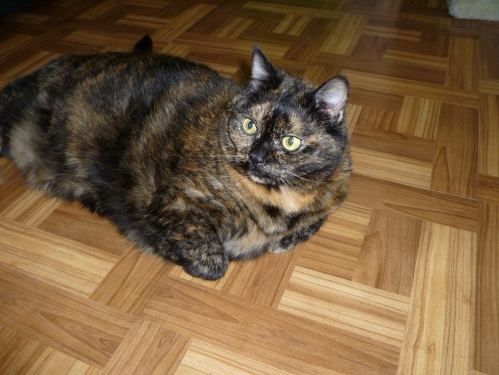 beautiful lovely tortie tortoiseshell