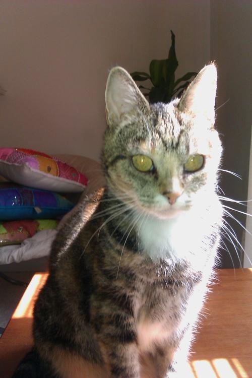 calico tabby cat | Ano...